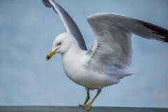 Δαχτυλίδι-τιμολογημένο Seagull Στοκ εικόνα με δικαίωμα ελεύθερης χρήσης