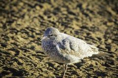 Δαχτυλίδι-τιμολογημένο Seagull Στοκ Εικόνες