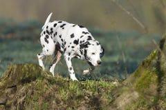 Δαλματικά (σκυλί) στοκ εικόνα