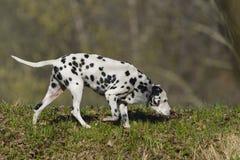 Δαλματικά (σκυλί) στοκ εικόνες με δικαίωμα ελεύθερης χρήσης