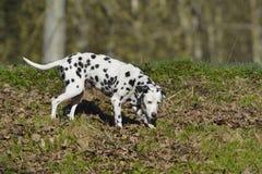 Δαλματικά (σκυλί) στοκ φωτογραφίες με δικαίωμα ελεύθερης χρήσης