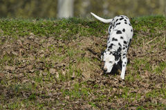 Δαλματικά (σκυλί) στοκ εικόνα με δικαίωμα ελεύθερης χρήσης
