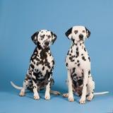 Δαλματικά σκυλιά στο μπλε υπόβαθρο στοκ εικόνες με δικαίωμα ελεύθερης χρήσης