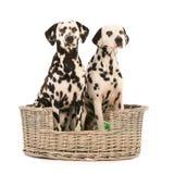 Δαλματικά σκυλιά στο ψάθινο καλάθι στοκ φωτογραφία