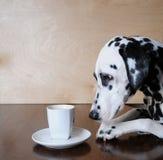 Δαλματική συνεδρίαση σκυλιών στον πίνακα με ένα cappuccino φλιτζανιών του καφέ Στοκ Φωτογραφία