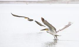Δαλματικός πελεκάνος κατά την πτήση (crispus Pelecanus) Στοκ Εικόνες