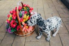 Δαλματικό κουτάβι που στέκεται κοντά στο καλάθι με τα λουλούδια Στοκ φωτογραφία με δικαίωμα ελεύθερης χρήσης