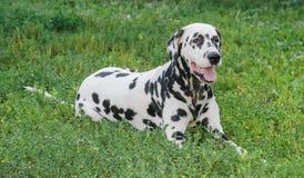 Δαλματικό σκυλί γραπτό Στοκ Εικόνες