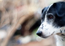 Δαλματικό σκυλί κανένα purebred Στοκ Φωτογραφία