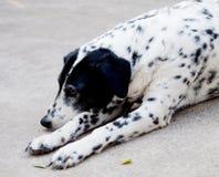Δαλματικό σκυλί κανένα purebred Στοκ εικόνα με δικαίωμα ελεύθερης χρήσης