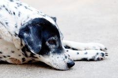 Δαλματικό σκυλί κανένα purebred Στοκ Εικόνες
