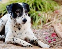 Δαλματικό σκυλί κανένα purebred Στοκ Εικόνα