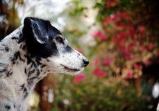 Δαλματικό σκυλί κανένα purebred Στοκ φωτογραφία με δικαίωμα ελεύθερης χρήσης