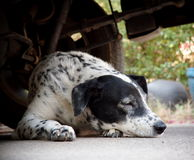 Δαλματικό σκυλί που βάζει σε ένα πάτωμα Στοκ φωτογραφία με δικαίωμα ελεύθερης χρήσης