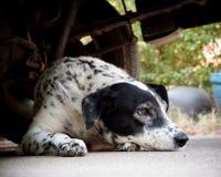 Δαλματικό σκυλί που βάζει σε ένα πάτωμα Στοκ Φωτογραφίες