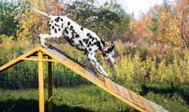 Δαλματικό σκυλί στη φύση Στοκ Εικόνες