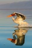 Δαλματικό crispus Pelecanus πελεκάνων στοκ φωτογραφίες