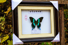 Δείγματα πεταλούδων Cupid swallowtail Στοκ Εικόνες