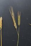 Δείγματα των αυτιών δημητριακών σε ένα μαύρο υπόβαθρο Σίκαλη, βρώμες, σίτος και triticale στοκ φωτογραφία με δικαίωμα ελεύθερης χρήσης