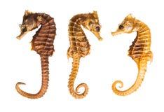 Δείγματα Seahorse Στοκ εικόνα με δικαίωμα ελεύθερης χρήσης