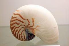 Δείγμα Conch στοκ εικόνα με δικαίωμα ελεύθερης χρήσης