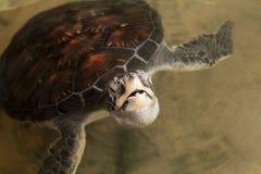Δείτε τη χελώνα στοκ φωτογραφία