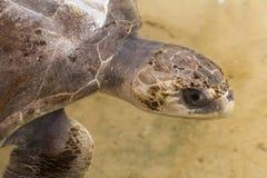 Δείτε τη χελώνα στοκ εικόνα με δικαίωμα ελεύθερης χρήσης