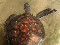 Δείτε τη χελώνα στοκ φωτογραφίες με δικαίωμα ελεύθερης χρήσης