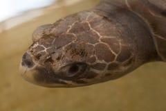 Δείτε τη χελώνα στοκ εικόνες