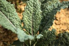 Δεινόσαυρος Kale Στοκ εικόνες με δικαίωμα ελεύθερης χρήσης