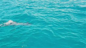Δελφίνια που κολυμπούν στην μπλε θάλασσα απόθεμα βίντεο
