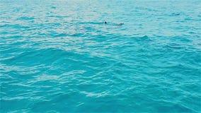 Δελφίνια που κολυμπούν στην μπλε θάλασσα φιλμ μικρού μήκους