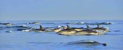 Δελφίνια, που κολυμπούν στον ωκεανό Στοκ Φωτογραφίες
