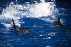 Δελφίνια στον ωκεανό Δελφίνια με μια γρατσουνισμένη πλάτη Κυνήγι για τα δελφίνια Ζωική προστασία Στοκ εικόνα με δικαίωμα ελεύθερης χρήσης