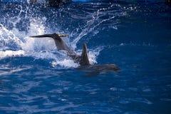 Δελφίνια στον ωκεανό Δελφίνια με μια γρατσουνισμένη πλάτη Κυνήγι για τα δελφίνια Ζωική προστασία Στοκ φωτογραφίες με δικαίωμα ελεύθερης χρήσης