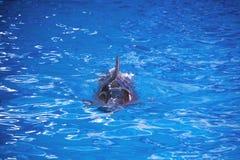 Δελφίνια στον ωκεανό Δελφίνια με μια γρατσουνισμένη πλάτη Κυνήγι για τα δελφίνια Ζωική προστασία Στοκ Φωτογραφία