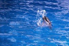 Δελφίνια στον ωκεανό Δελφίνια με μια γρατσουνισμένη πλάτη Κυνήγι για τα δελφίνια Ζωική προστασία Στοκ εικόνες με δικαίωμα ελεύθερης χρήσης