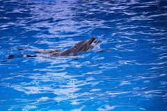 Δελφίνια στον ωκεανό Δελφίνια με μια γρατσουνισμένη πλάτη Κυνήγι για τα δελφίνια Ζωική προστασία Στοκ φωτογραφία με δικαίωμα ελεύθερης χρήσης