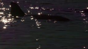 Δελφίνια στο αυστραλιανό νερό κατά τη διάρκεια του ηλιοβασιλέματος φιλμ μικρού μήκους