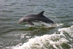δελφίνι μπουκαλιών που μυρίζεται Στοκ Εικόνες