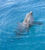 δελφίνι μπουκαλιών που μ&u Στοκ Φωτογραφίες
