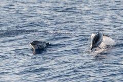 Δελφίνι πηδώντας στη βαθιά μπλε θάλασσα Στοκ Εικόνα