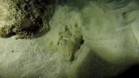 Δελφίνι που κολυμπά στη Ερυθρά Θάλασσα, Eilat Ισραήλ φιλμ μικρού μήκους