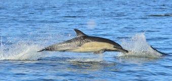 Δελφίνι, που κολυμπά στον ωκεανό Τα δελφίνια κολυμπούν και πηδώντας από το νερό Στοκ Φωτογραφία