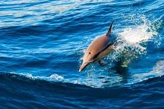 Δελφίνι που πηδά από το ύδωρ Στοκ Εικόνα