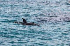 Δελφινιών στην μπλε θάλασσα στο eilat στο Ισραήλ στοκ εικόνα