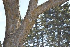 Δεμένο δέντρο πεύκων στο δάσος Στοκ φωτογραφία με δικαίωμα ελεύθερης χρήσης