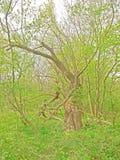 Δεμένο δέντρο Στοκ Εικόνα