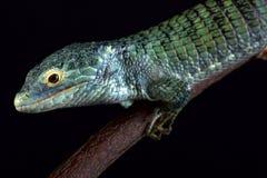 Δενδρικό σαν αλλιγάτορας vasconcelosii Abronia σαυρών Bocourt ` s στοκ εικόνα με δικαίωμα ελεύθερης χρήσης
