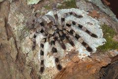 Δενδρικό tarantula, tigrinawesseli Poecilotheria Ανατολικό Ghats στοκ εικόνες